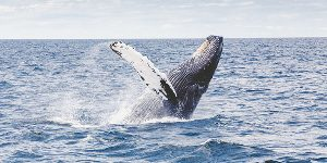 Humpback whale breaching in sea off Galapagos