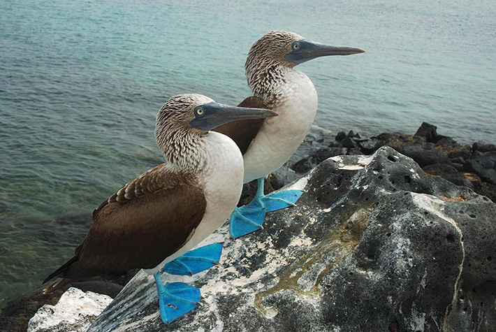 Blue-footed booby birds on the Galapagos