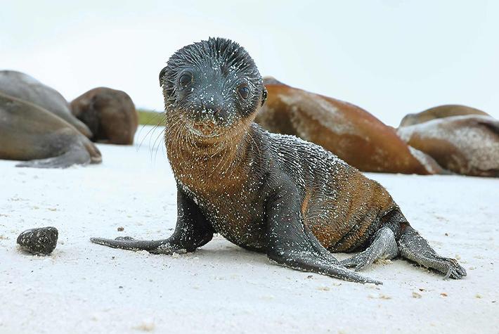 Fur seal pup on Galapagos beach