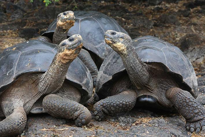 Trio of Galapagos giant tortoises