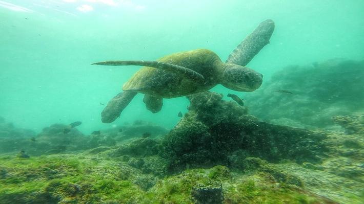 Galapagos green sea turtle swimming underwater