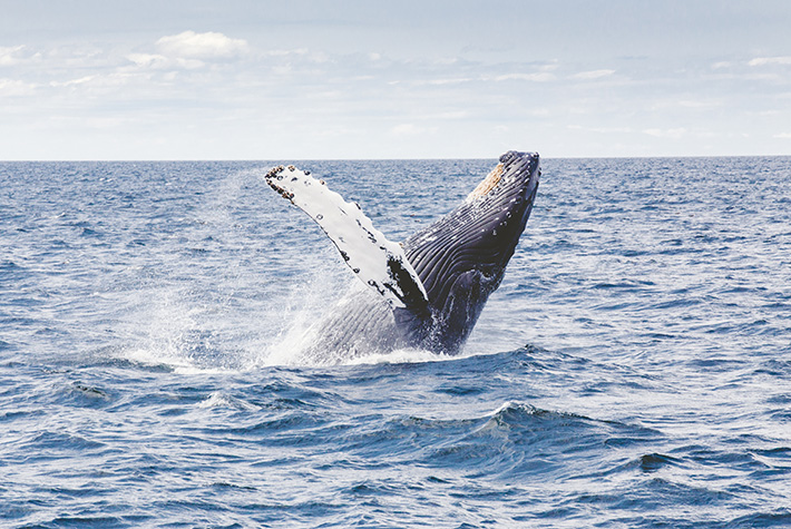 Humpback whale breaching off Galapagos