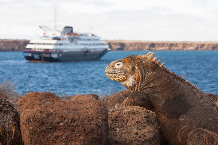 Galapagos iguana sitting on a rock