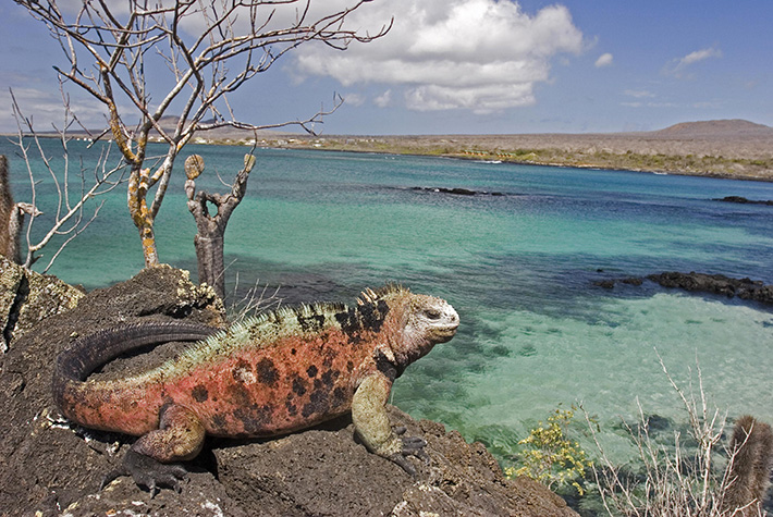 Marine iguana sitting on a cliff on Galapagos