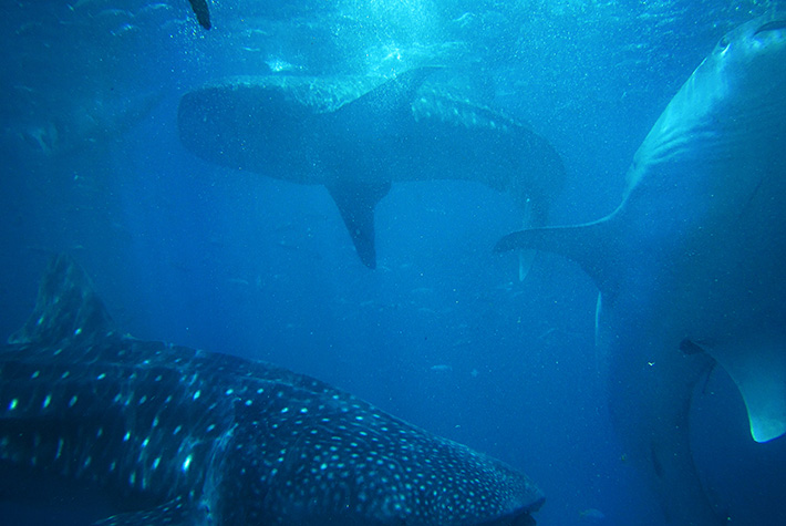 Whale sharks feeding off the Galapagos