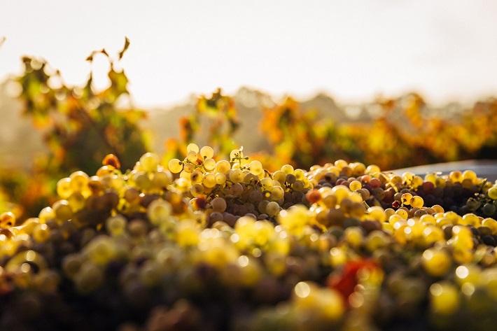 Piles of grapes in an Australian vineyard