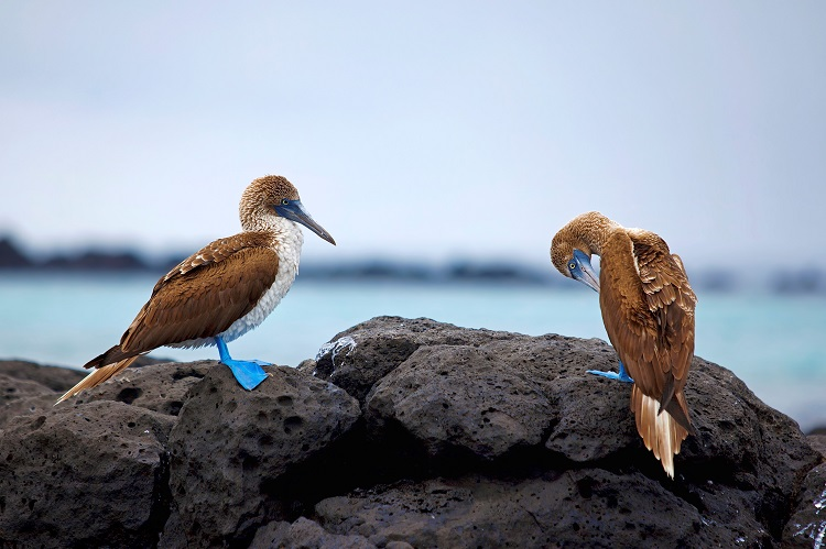Blue-footed booby birds standing on rocks in front of the sea