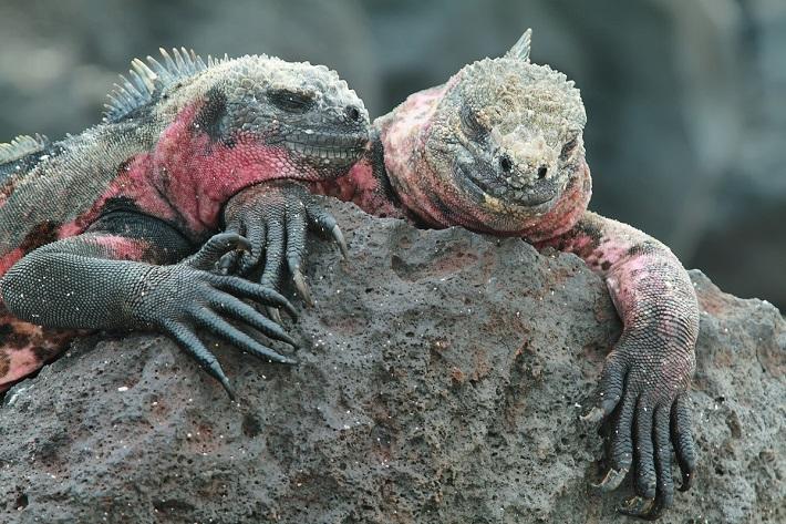 Marine iguanas seen during a Galapagos cruise