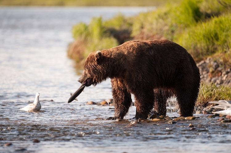Brown bear fishing in Alaskan river