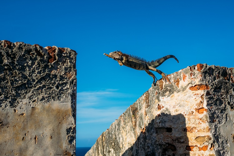 An iguana leaping between buildings in Puerto Rico cruise port