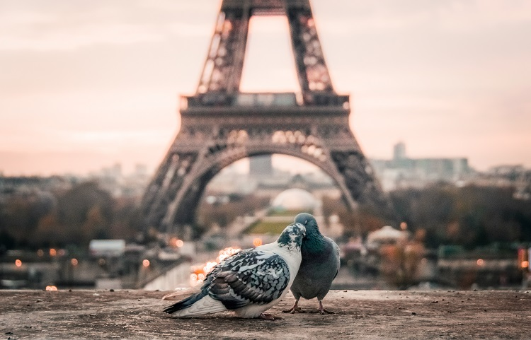 Two pigeons grooming each other in front of the Eiffel Tower in Paris