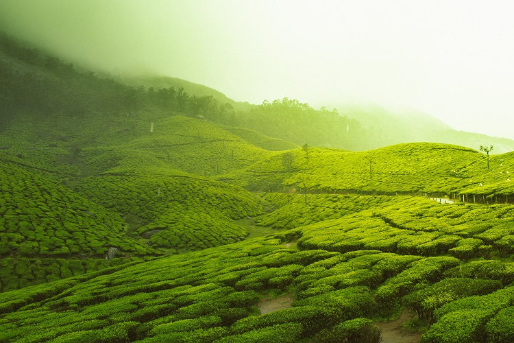 A vast Indian tea plantation glowing brightly in the hazy sunrise