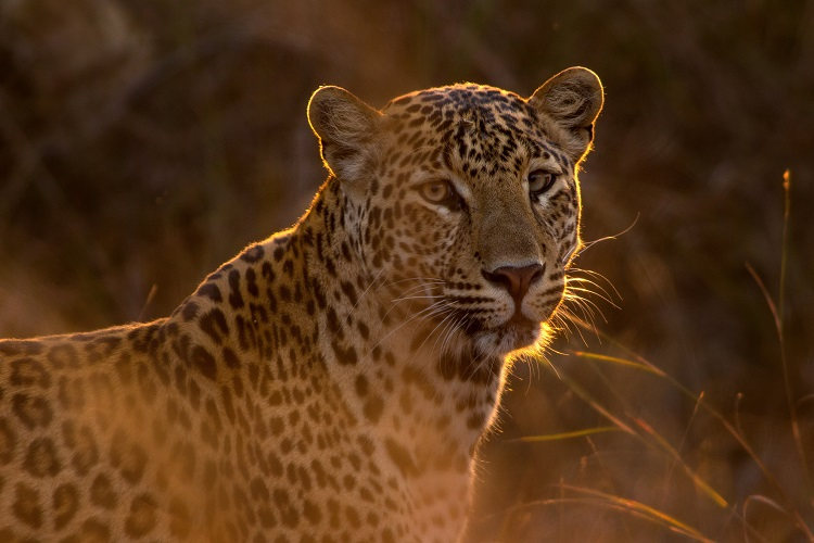 An Indian leopard standing behind dry grasses and looking into the camera lens