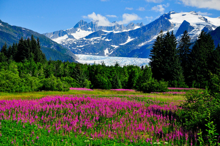 Wildflowers carpeting a lush green field in front of snow-capped mountains in Alaska