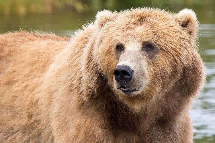 Close-up of a Kodiak brown bear standing in a river in Alaska