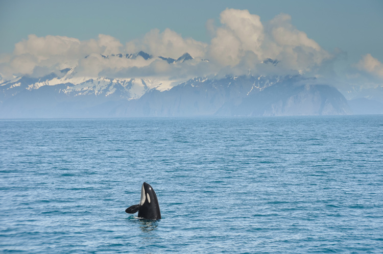 An orca rising out of the water in front of snow-capped mountains in Alaska