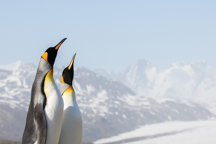 Two emperor penguins standing tall against a backdrop of ice in Antarctica