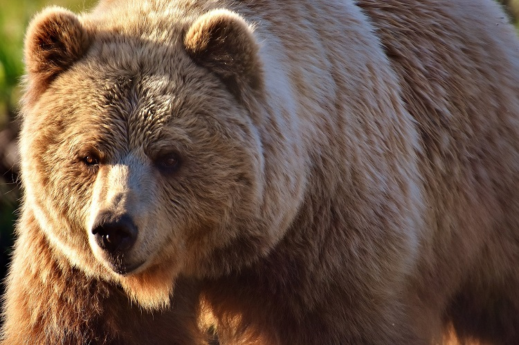 Close-up of a fluffy European brown bear in Spain