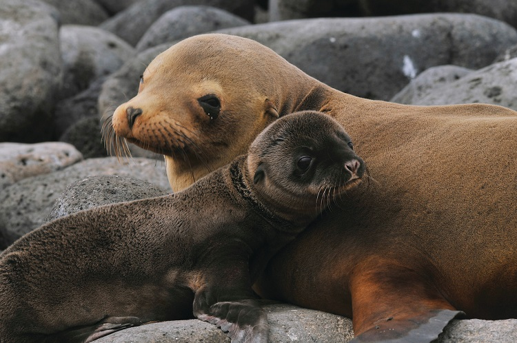 Mother Galapagos fur seal and pup sitting on a rocky beach during a Galapagos cruise