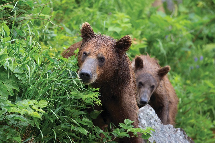 Two grizzly bears climbing up a grassy hill in Alaska