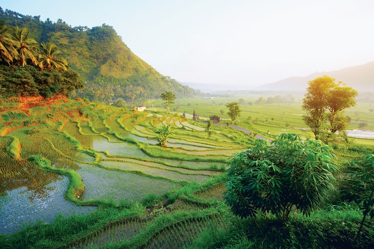 Sunlight stretching over lush paddy fields in Indonesia