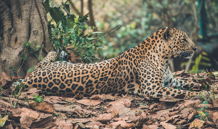 A jaguar lying in the leaf litter on the Pantanal in Brazil