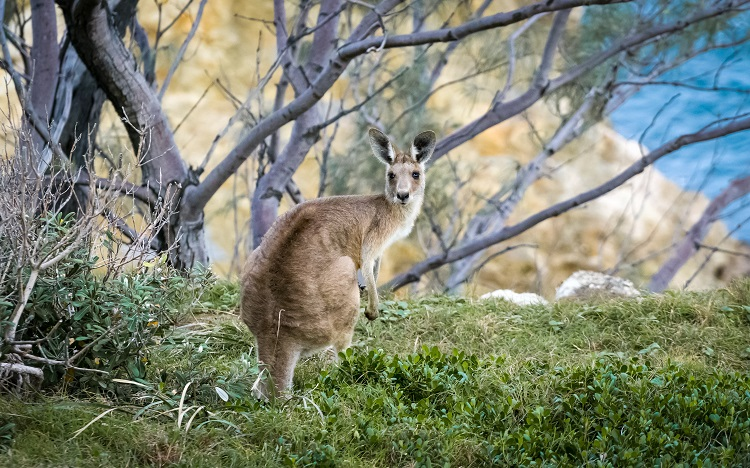 A kangaroo standing on a lush cliff edge on Kangaroo Island in Australia