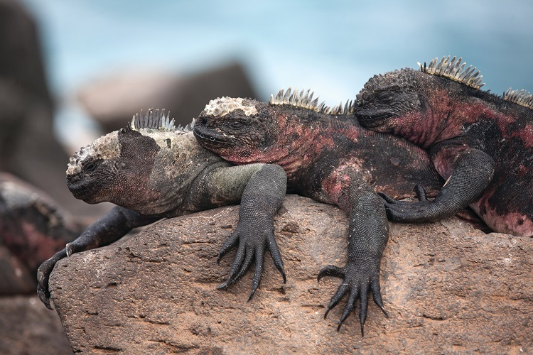 A trio of Galapagos marine iguanas lying together on a rock