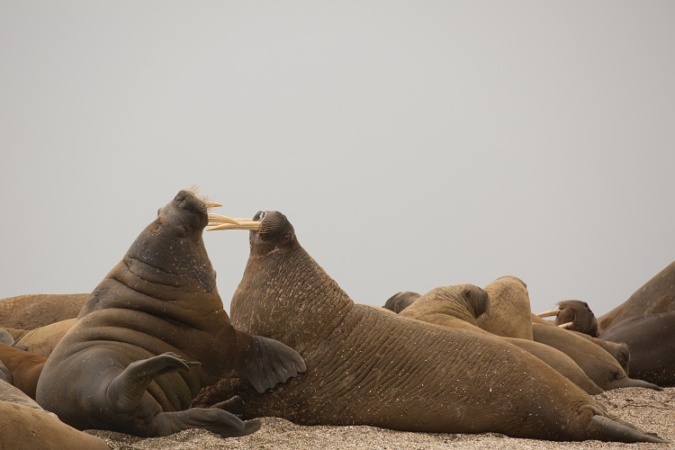 Walruses locking tusks on a beach in Arctic Greenland