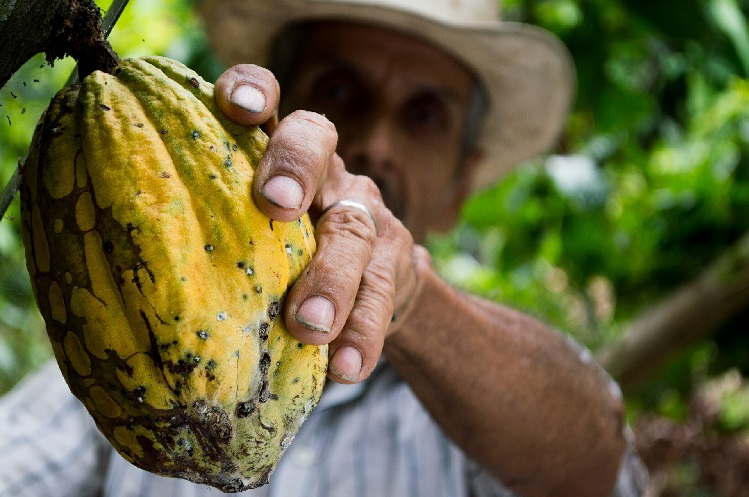 Man harvesting cacao pods
