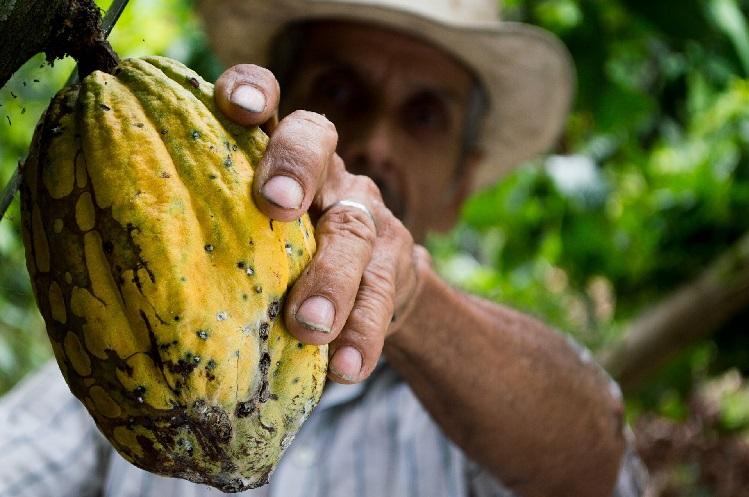 Man harvesting cacao pods