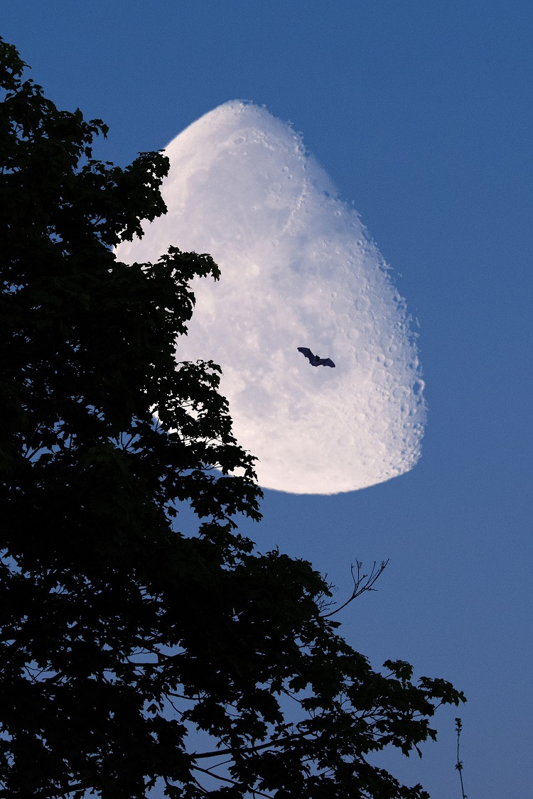 The silhouette of a bat flying against the moon in Mexico