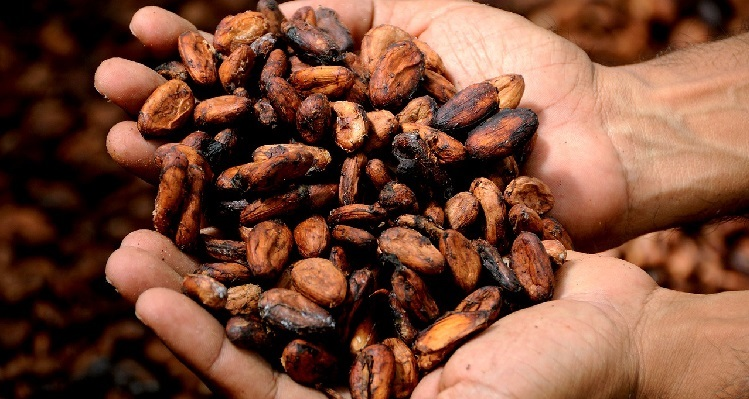 Pair of hands holding cocoa beans: the main ingredient for chocolate