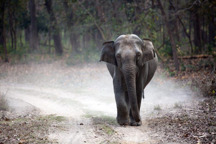 Indian elephant walking