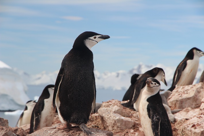 Chinstrap penguins standing on rocks in the Arctic during a Hapag-Lloyd cruise