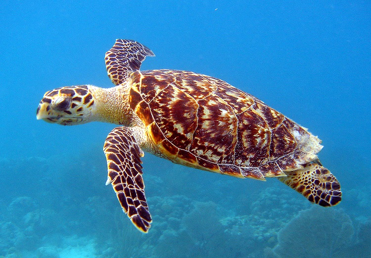 A hawksbill turtle swimming through bright blue water in the Pacific Ocean