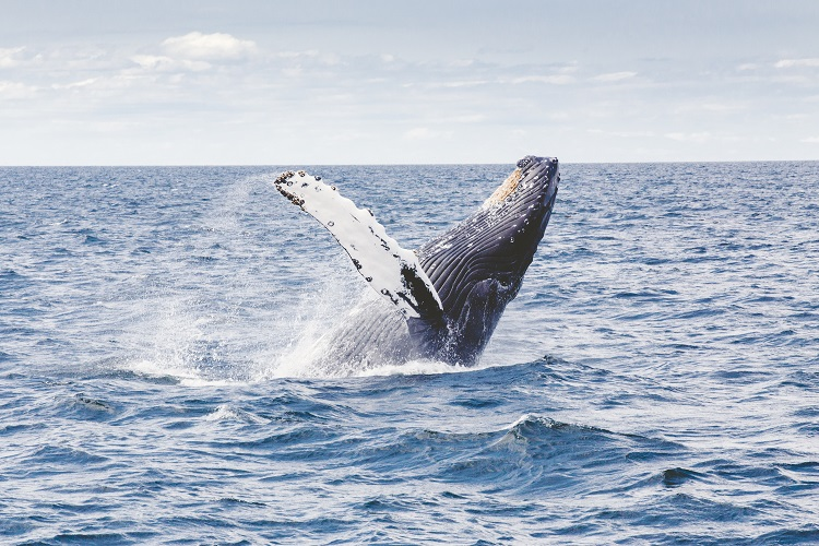 A humpack whale jumping backwards out of the ocean in the South Pacific