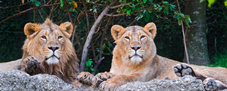 Pair of resting Asiatic lions in India