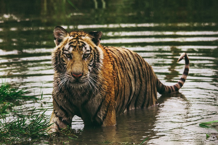 A bengal tiger standing in a lake in the Indian forest