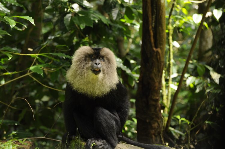 Lion-tailed macaque sitting in the forest