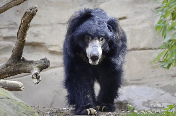 Sloth bear walking through a forest in India