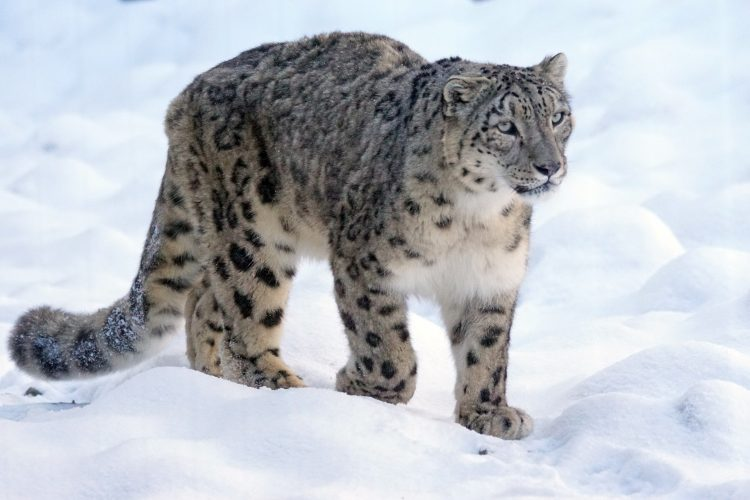 Snow leopard walking through the Himalayas