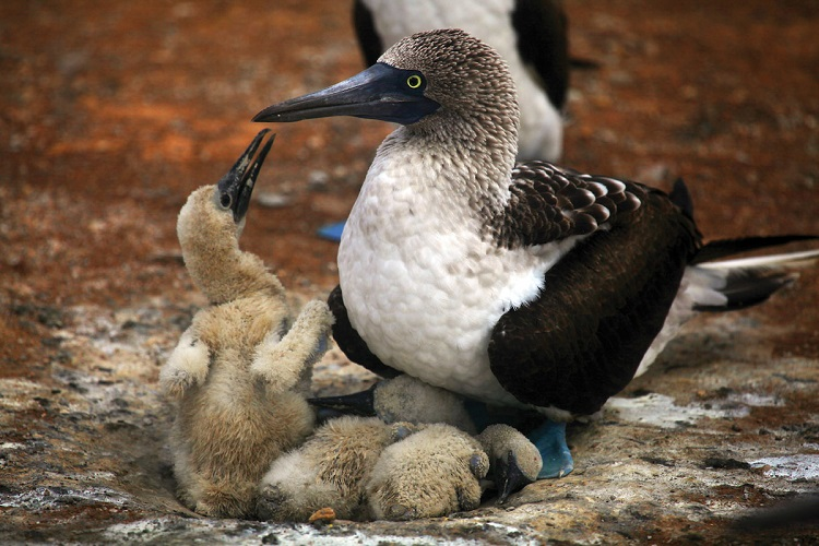 A blue-footed booby bird sitting on the nest and feeding its young