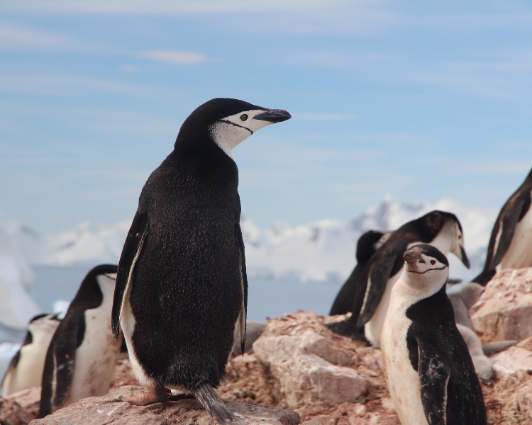 Antarctica's wildlife - the chinstrap penguin