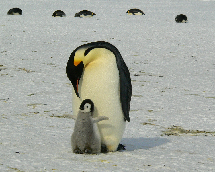 Antarctica's wildlife - the Emperor penguin