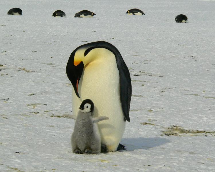 Antarctica's wildlife - the Emperor penguin