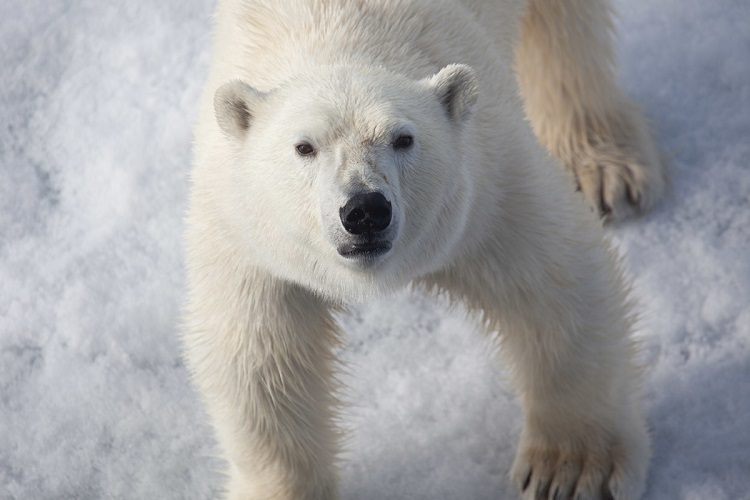 Close-up of a polar bear looking up into the camera in the Arctic