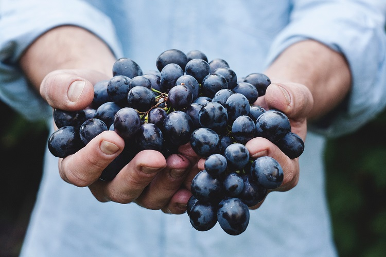 Person holding a handful of red wine grapes