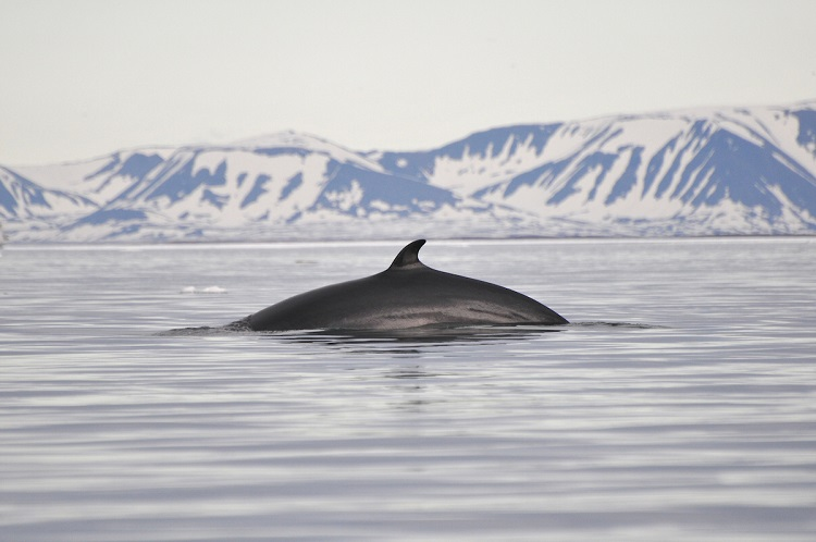 A fin whale showing its dorsal fin as it dives for food in the Arctic