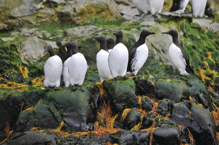 A group of guillemots standing on rocks in the Arctic